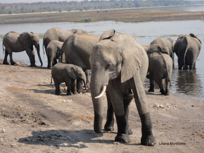 Visit Chobe National Park in Botswana animals in africa