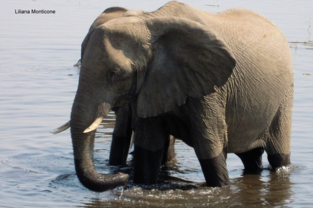 Visit Chobe National Park in Botswana africa in the heart
